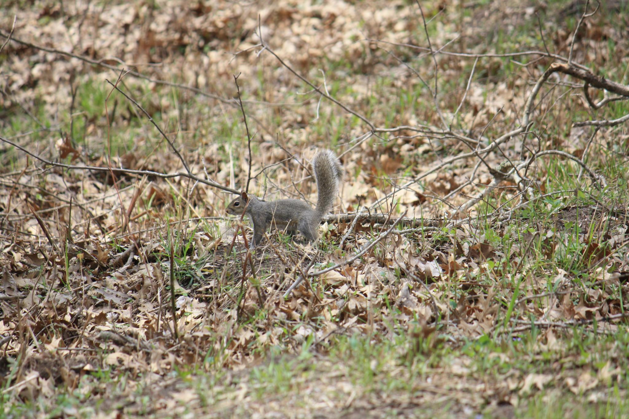 Gray squirrel on log with brown leaves and grass on ground.