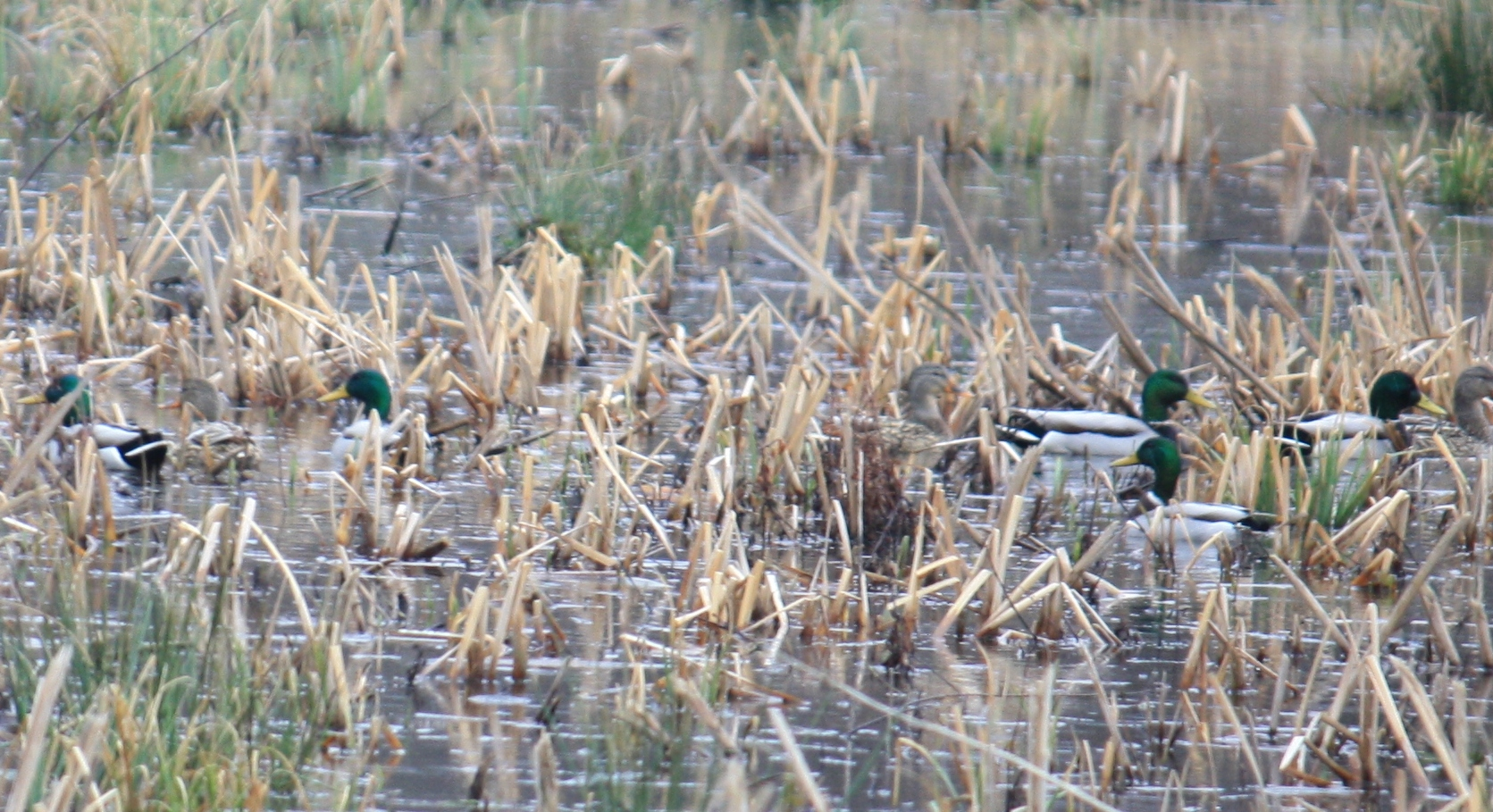 Pintail and Mallard ducks in brown and green foliage.